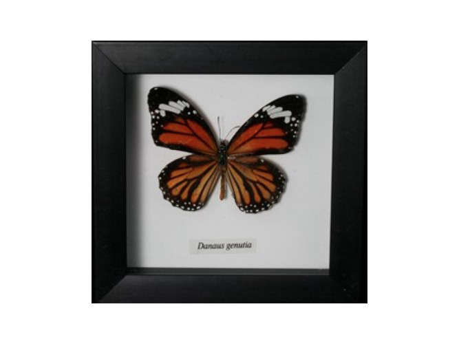 framed butterfly print paxton gate remodelista