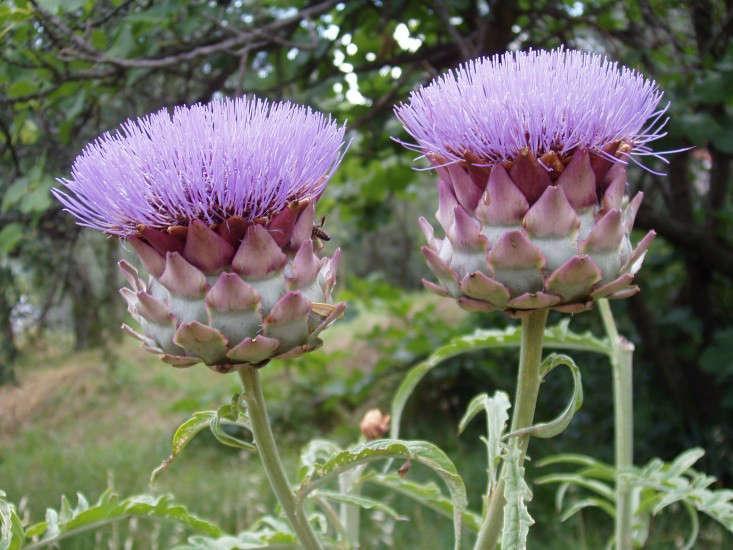 globe artichoke flower by Stan Dalone Gardenista