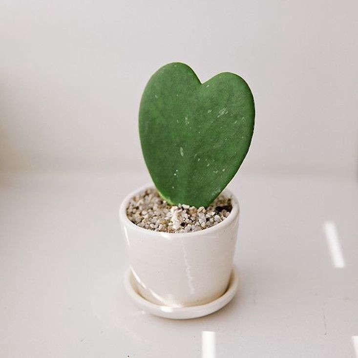 hoya sweetheart cactus valentines day gardenista