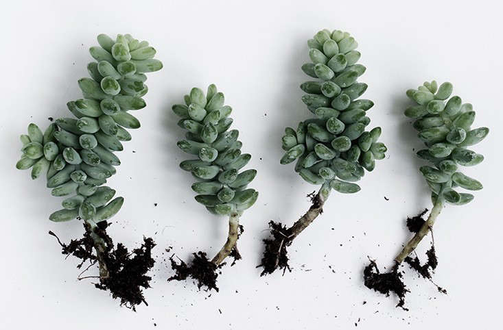 succulents growing guide indoors outdoors gardenista