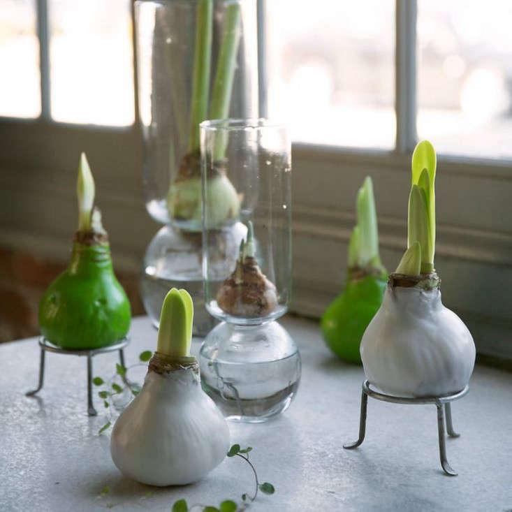 waxed amaryllis bulbs gardenista 0