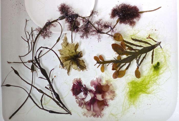 DIY  20  seaweed  20  prints  40    20  specimens