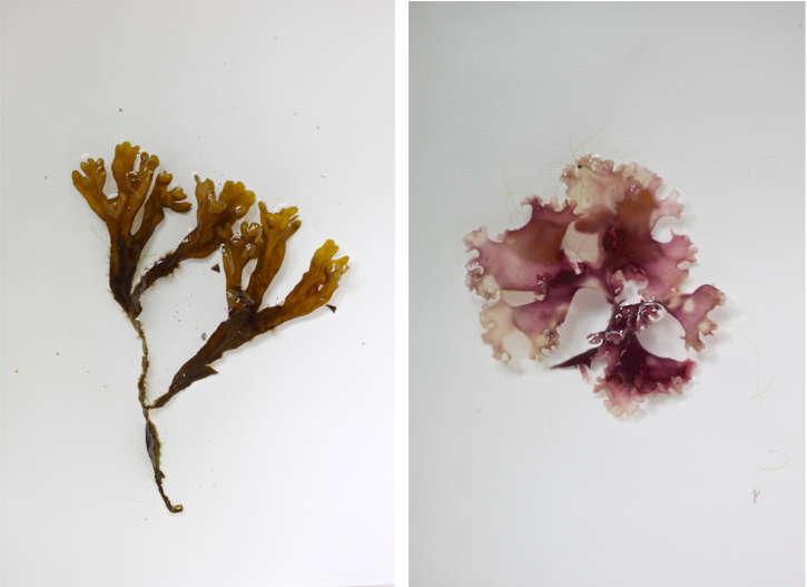DIY  20  seaweed  20  prints  40    20  step  20  3