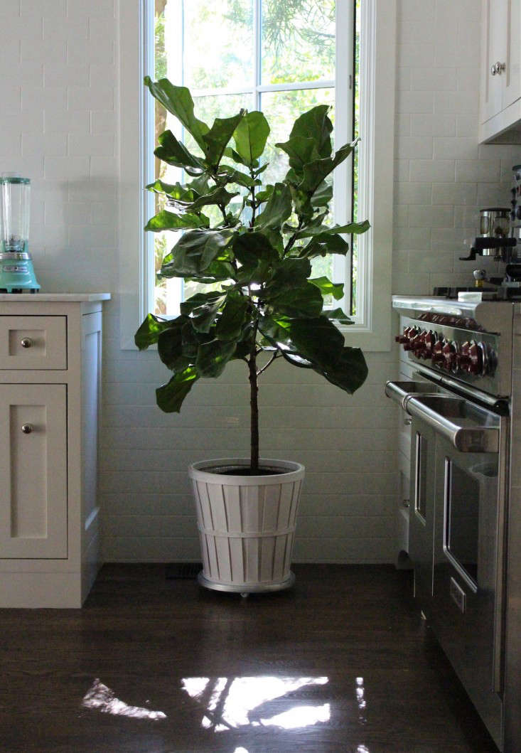fiddle  20  leaf  20  fig  20  kitchen  20  1