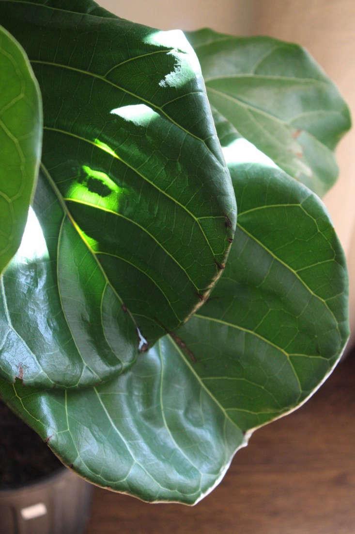 fiddle  20  leaf  20  fig  20  leaf  20  closeup