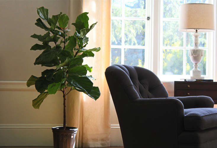 fiddle  20  leaf  20  fig  20  sunny  20  window  20  2
