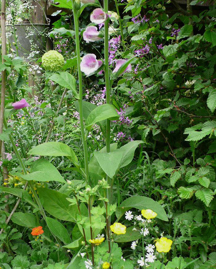 foxglove  20  and  20  greater  20  stitchwort