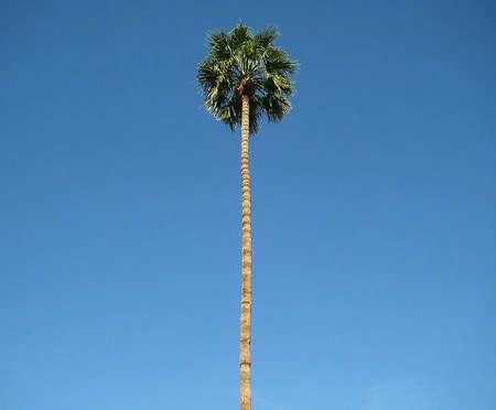 palm springs palm tree