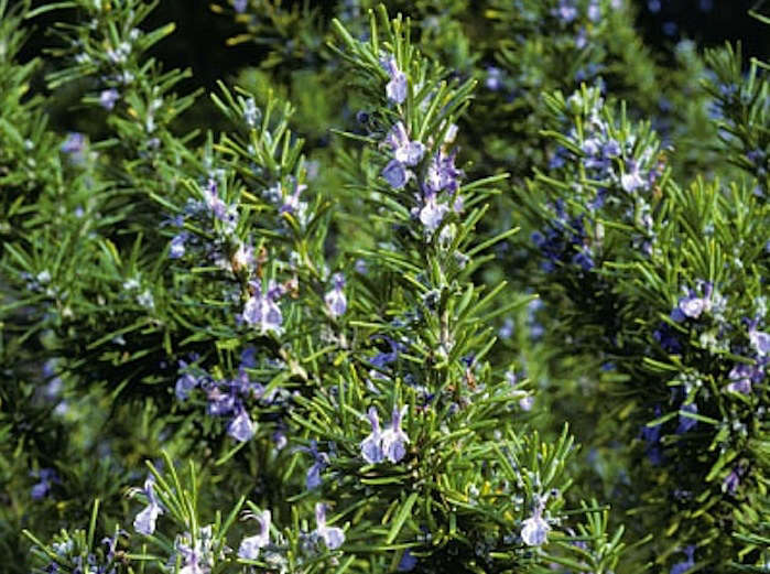 5 Favorites The Perfect Rosemary portrait 4