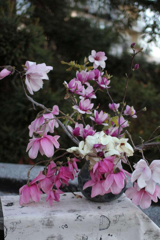 640 louesa magnolia flowers 2