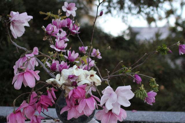 640 louesa magnolia flowers