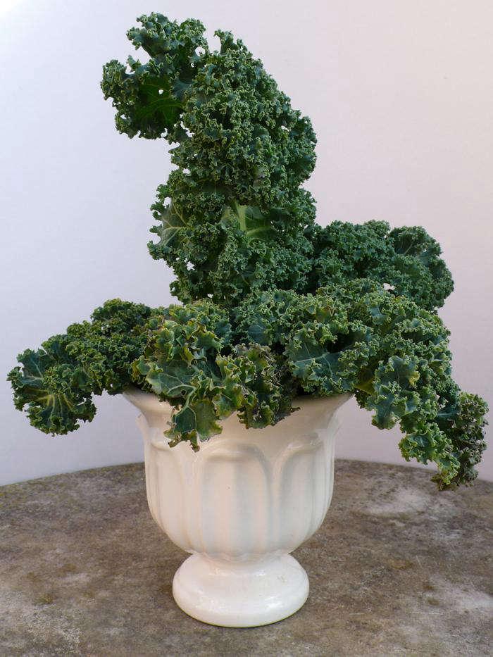 700 kale in vase spry