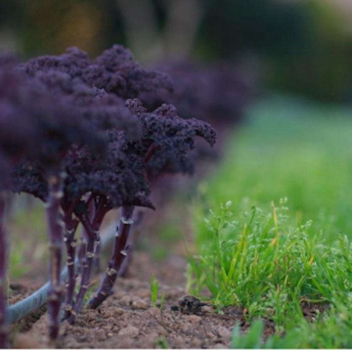 700 french laundry purple kale again
