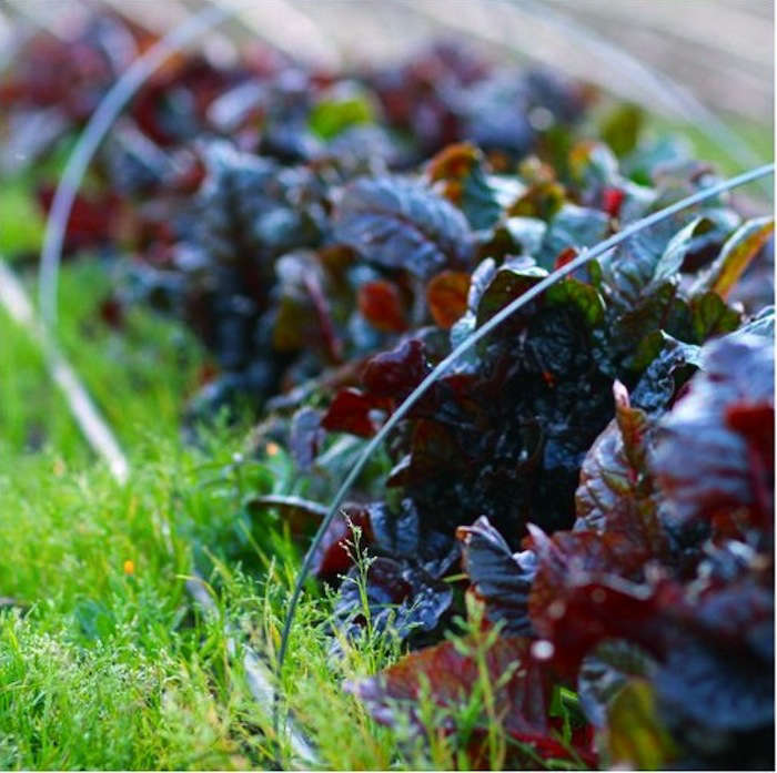 french laundry red lettuce