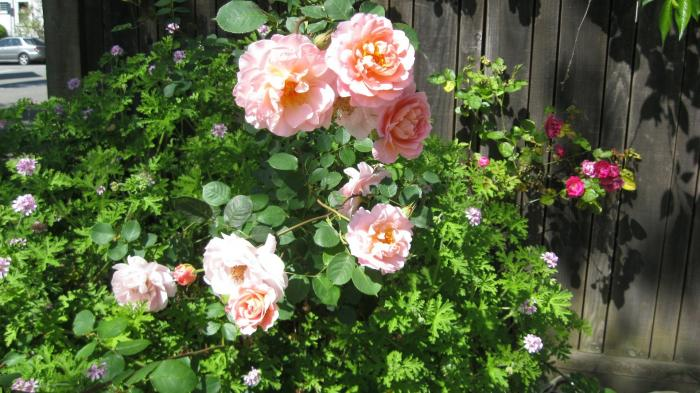 700 berkeley rose garden 12