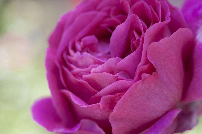 700 samroses lipstick pink closeup