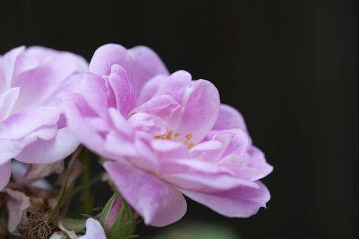 700 samroses pale pink