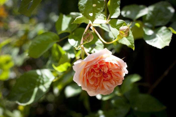 700 temora roses 8