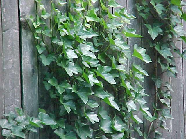 english ivy fence
