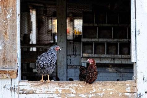 Chicken  20  Coop