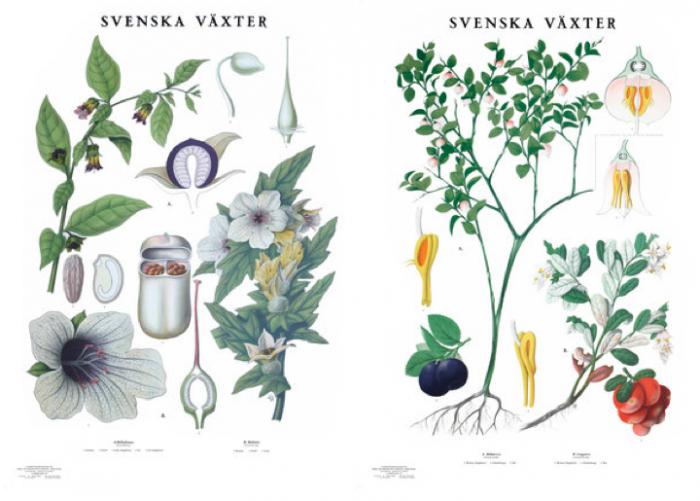 700 swedish botanical drawings two images