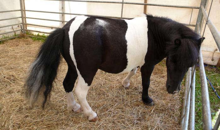 700 6 tiny pony