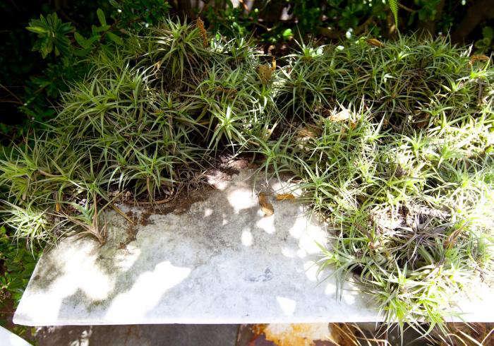 700 succulent    tillandsia
