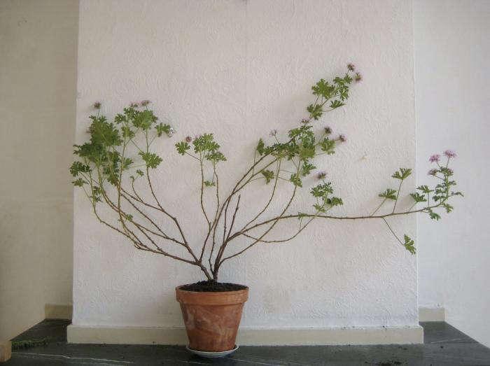 700 geranium by mieke
