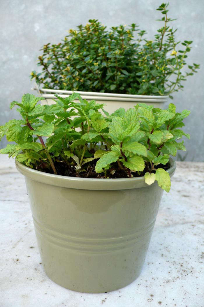 700 moroccan mint thyme