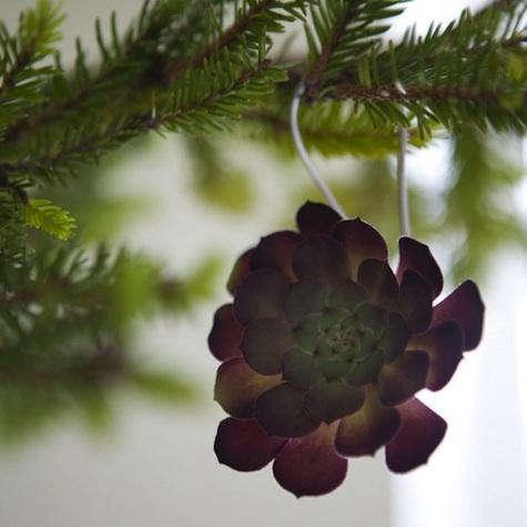 succulent purple 1