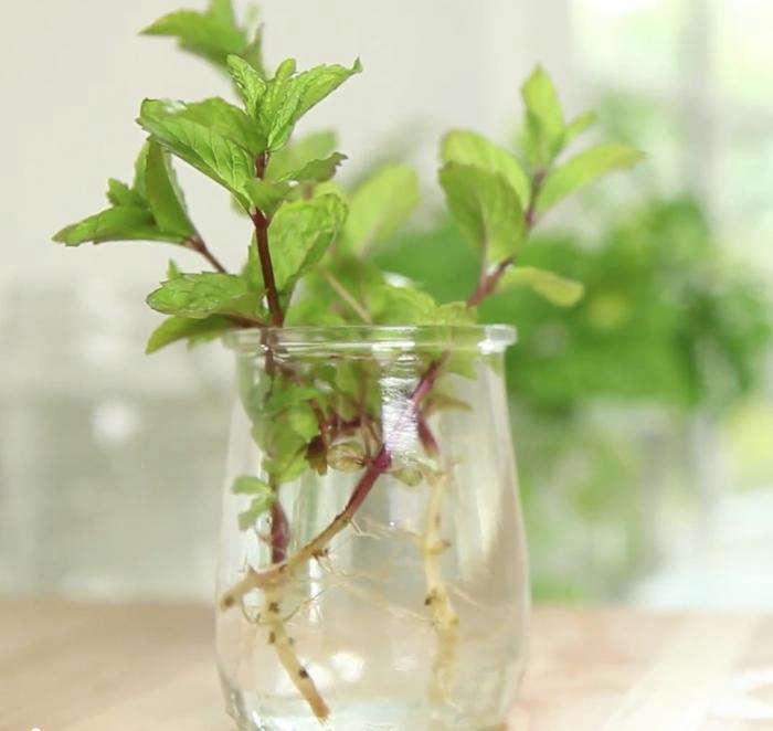 700 clone herbs 2