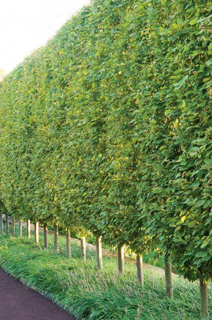 Hornbeam A Hedge for All Seasons portrait 4