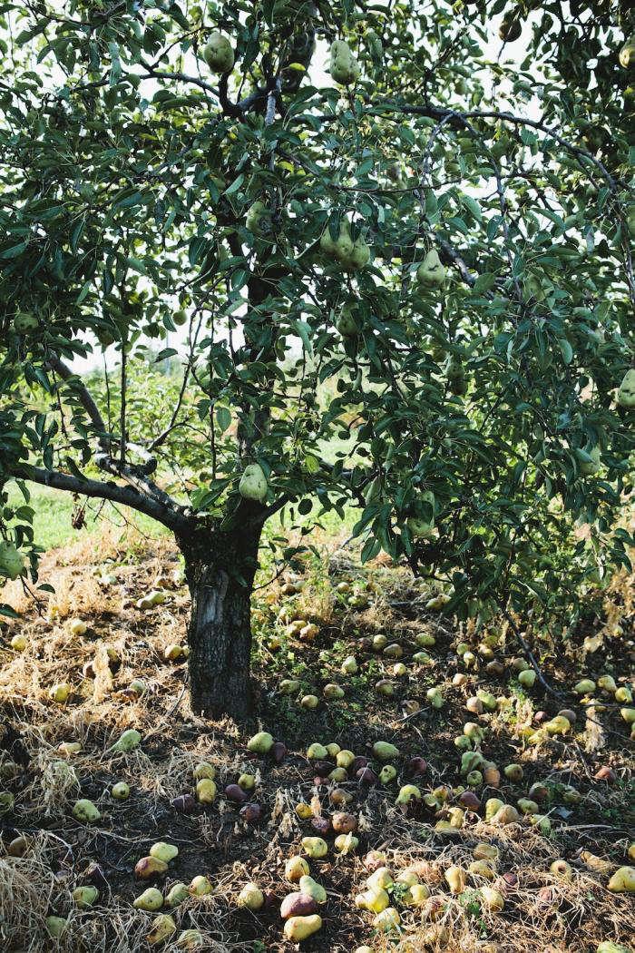 700 nicole franzen pear tree