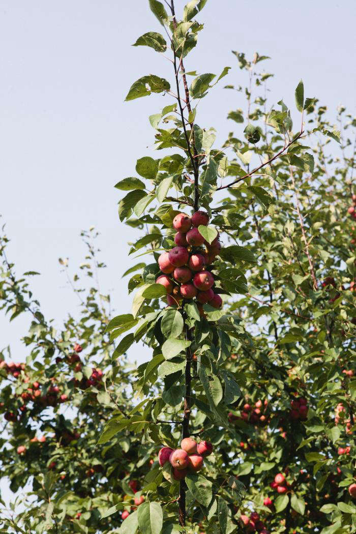 700 nicole franzen red pear tree