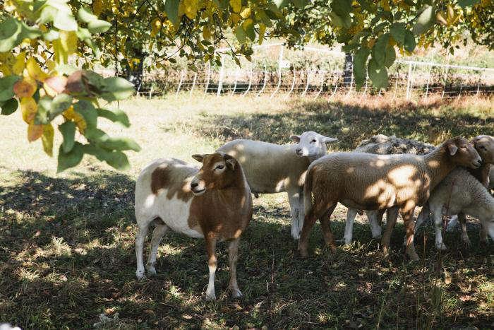 700 nicole franzen sheep hudson