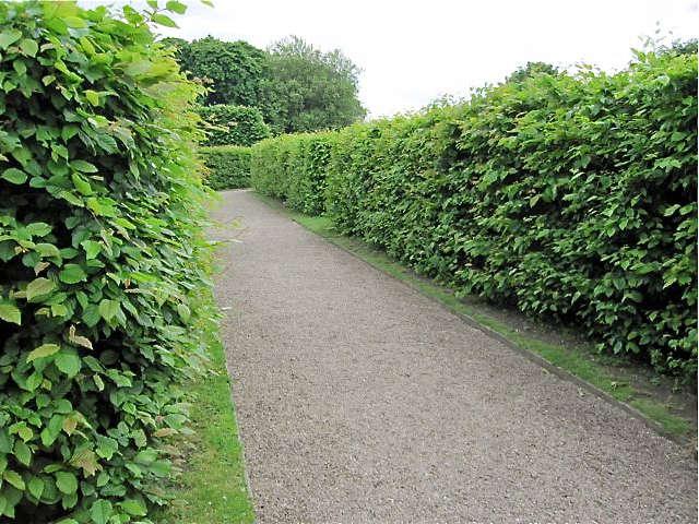 Hornbeam A Hedge for All Seasons portrait 3