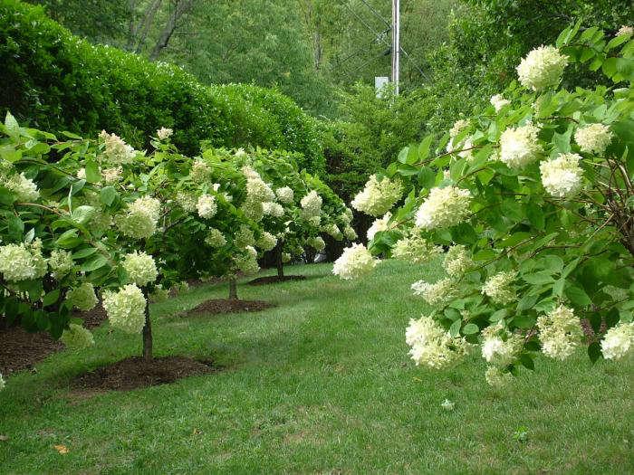 700 leva garden hydrangea trees