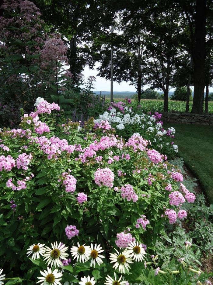 700 leva garden phlox and daisies