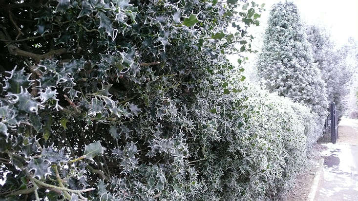 Holly Hedge, Photo by Kendra Wilson