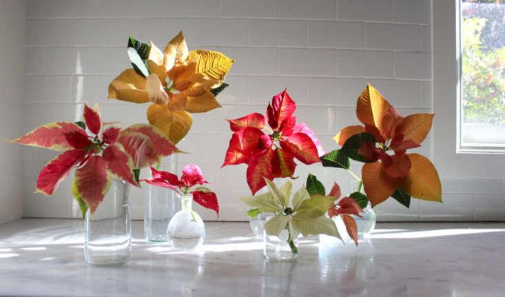 poinsetta flowers gardenista 9