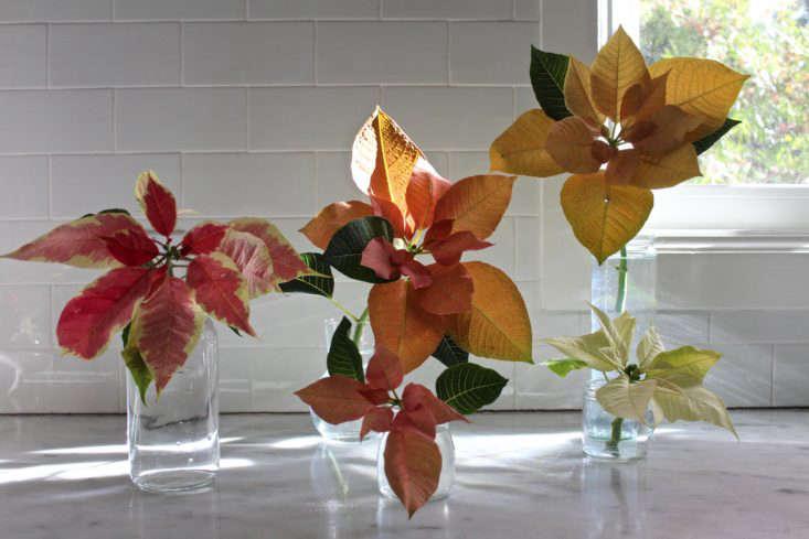 Poinsettias in Glass Vases, Photo by Michelle Slatella