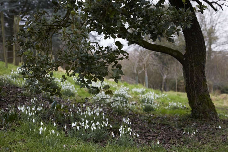 cotswold farm snowdrops galanthus under tree britt willoughby dyer BN2A0091