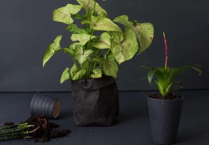 arrowhead plant syngonium house plant mimi giboin 1