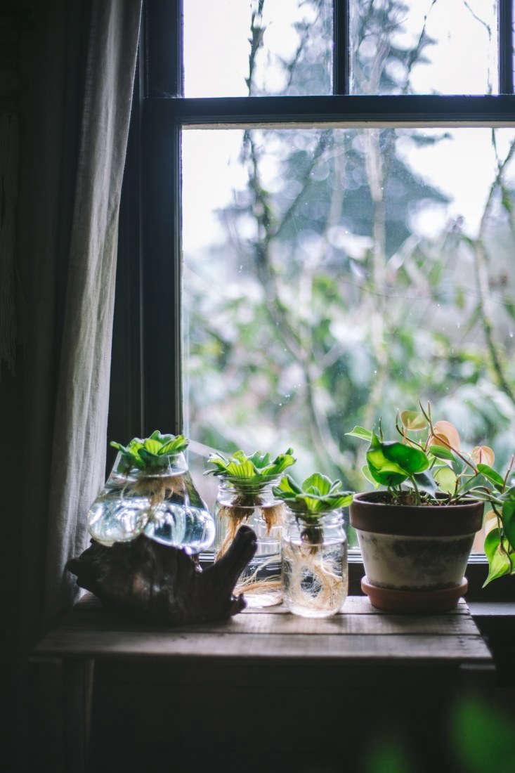 hydroponic plants, growing in jars. 13