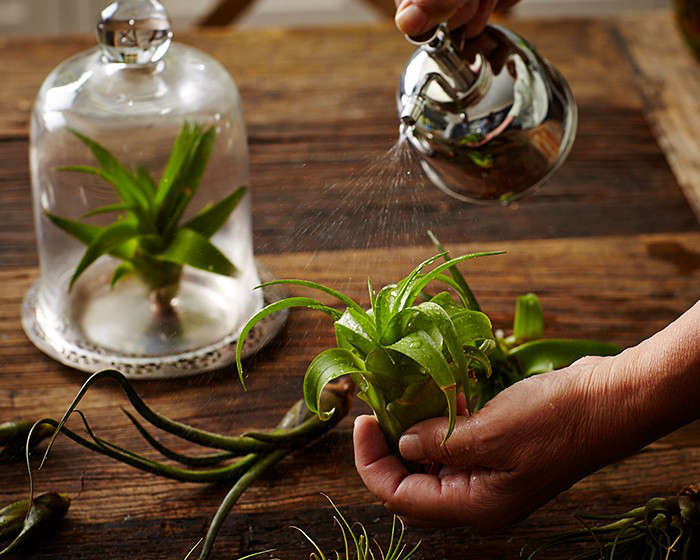 air plants, decoded, in\10 things nobody tells you about air plants. photogra 9