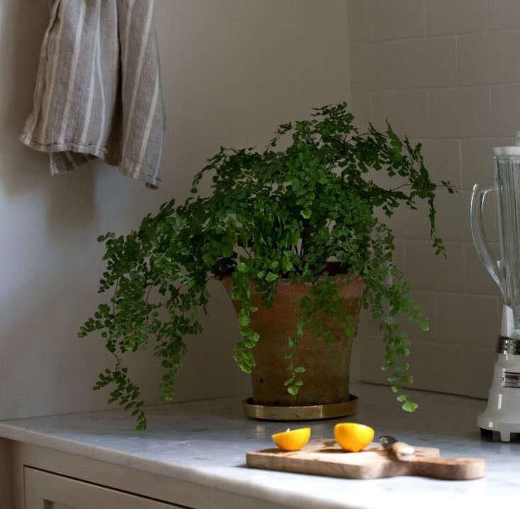 maidenhair fern low light houseplant mimi giboin crop