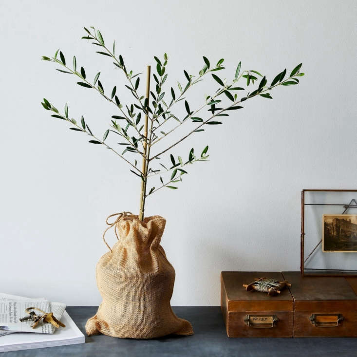 a houseplant that can live for centuries? if it sounds too good to be true, rea 10