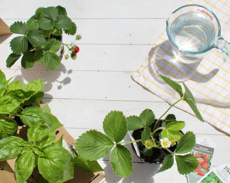 A summery mix of basil and berries was featured in May's Plant Package.