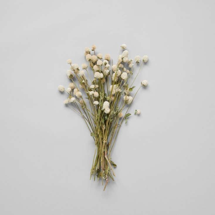 bloomist globe amaranthus dried botanicals